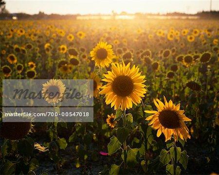 Sunflower Field, Bouches Du Rhone, Provence, France