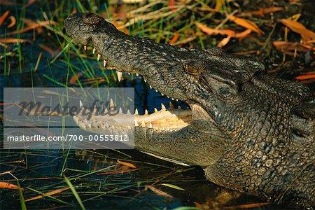 Crocodile in Water, Kakadu, Northern Territory, Australia