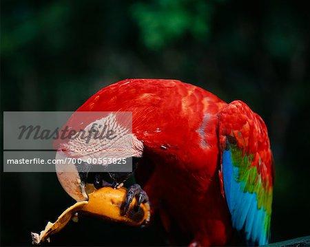 Close Up of Macaw, Amazon, Brazil