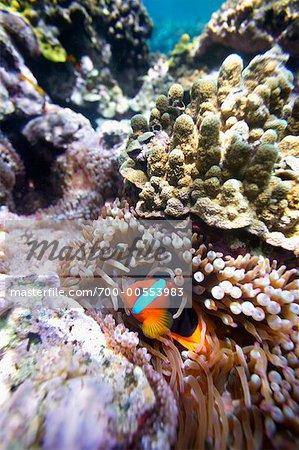 Clownfish on a Coral Reef Off Tanna Evergreen Bungalows, Tanna, Vanuatu