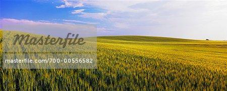 Barley Field, Crossfield, Alberta, Canada