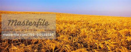 Barley Field, Airdrie, Alberta, Canada