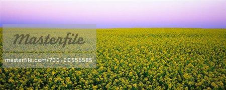 Canola Field, Crossfield, Alberta, Canada