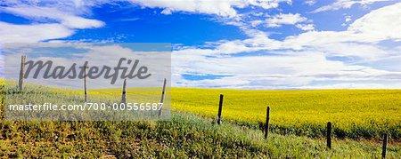Canola Field, Three Hills, Alberta, Canada