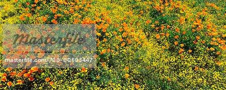 California Poppies And Wildflowers, Lancaster, California, USA