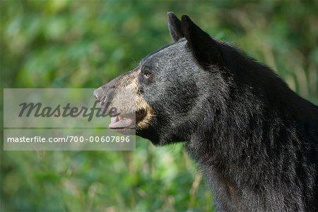 Portrait of Black Bear, Northern Minnesota, USA
