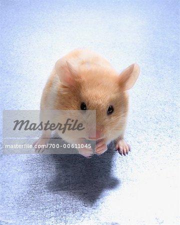 Portrait of Hamster