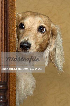Long Haired Dachshund
