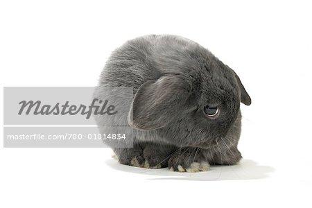 Lop-Eared Rabbit