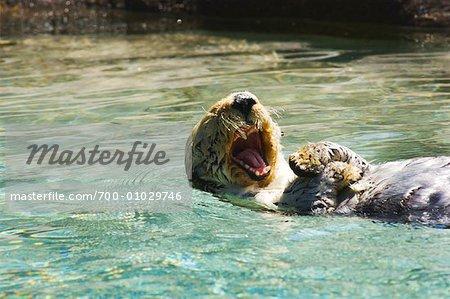 Otter at the Oregon Coast Aquarium, Newport, Oregon, USA