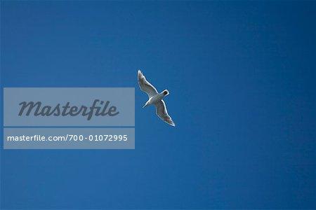 Seagull in Sky