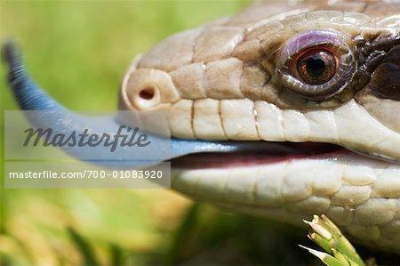 Close-Up of Blue Tongued Skink