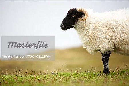 Close-up of Sheep, Isle of Lewis, Scotland