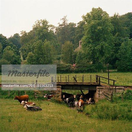 Cattle in Pasture, Scotland