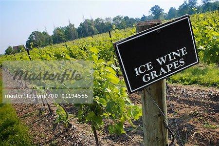 Ice Wine Vineyard, Inniskillin Winery, Niagara on the Lake, Ontario, Canada