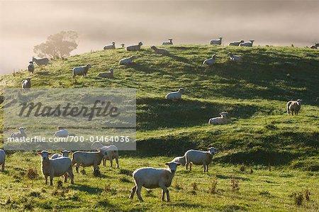 Sheep, Te Kuiti Township, New Zealand