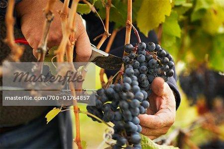 Person Working on Vineyard