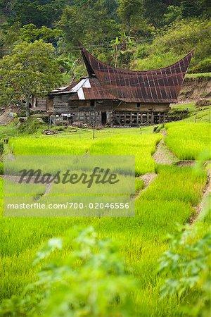Traditional House and Rice Terraces, Tomok, Samosir Island, Sumatra, Indonesia