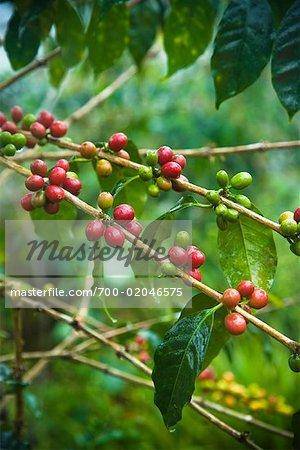 Coffee Plant, Mandailing Estate Coffee Plantation, Sumatra, Indonesia