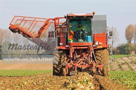 Harvesting Beets on Farm
