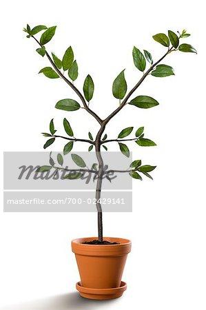 Yen-Shaped Plant Growing in Pot