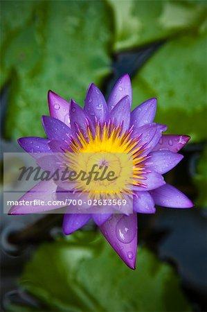 Water Lily, Ubud, Bali, Indonesia
