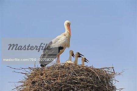 White Stork and Chicks in Nest