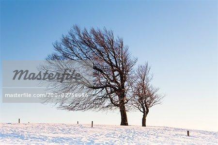 Warped Beech Tree in Winter, Black Forest, Baden-Wuerttemberg, Germany