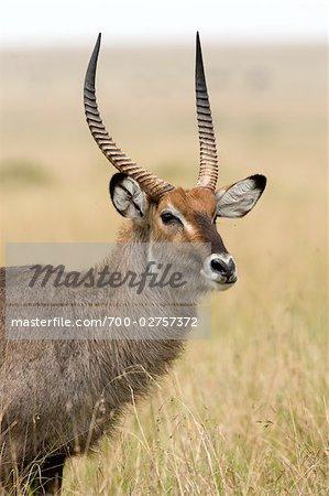 Male Waterbuck, Masai Mara, Kenya