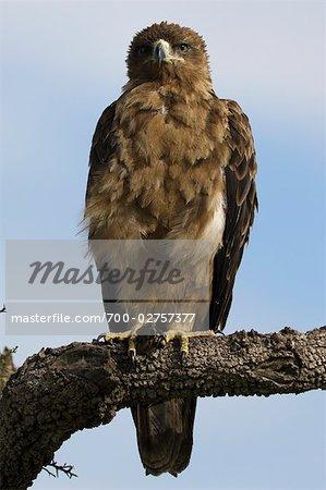 Tawny Eagle, Masai Mara, Kenya