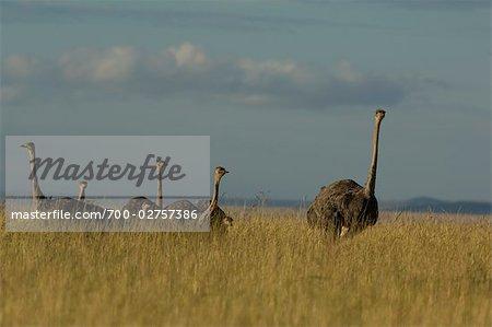 Ostrich and Chicks, Masai Mara, Kenya