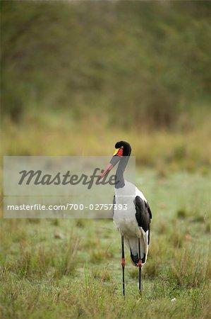 Saddle-billed Stork, Masai Mara, Kenya