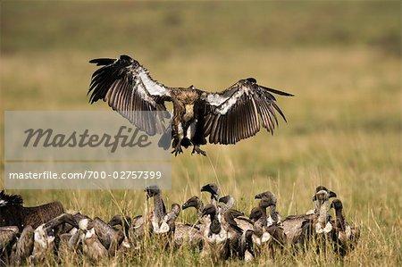 Flock of Vultures, Masai Mara, Kenya