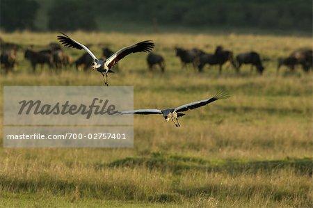 Grey Crowned Cranes, Masai Mara, Kenya