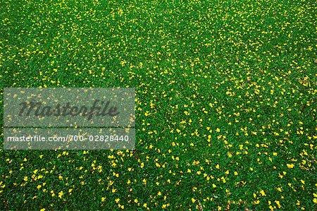Yellow flowers in grass lumpini park bangkok thailand stock yellow flowers in grass lumpini park bangkok thailand stock photo mightylinksfo