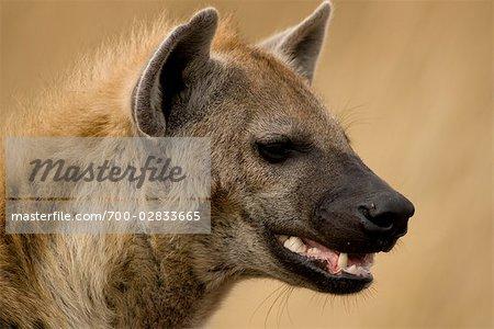 Close-up of Hyena, Masai Mara, Kenya, Africa