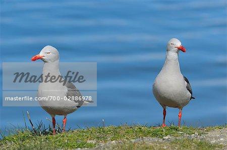 Seagulls, Ushuaia, Tierra del Fuego, Argentina