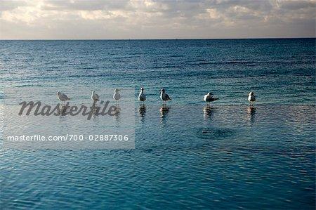 Seagulls Standing at Edge of Infinity Pool, Grand Bahama Island, Bahamas