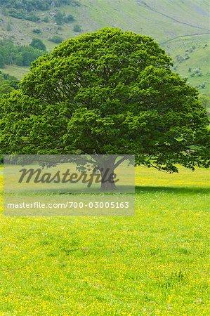 Oak Tree, Keswick, Cumbria, England, United Kingdom