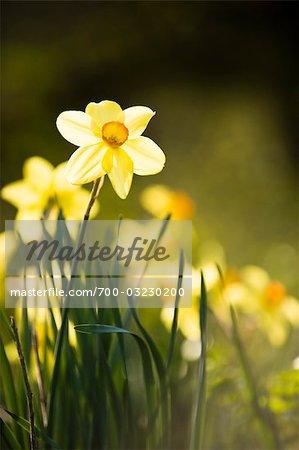 Daffodils, Salzburger Land, Austria