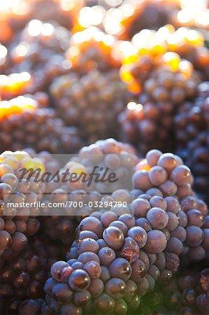 Clusters of Grapes, Okanagan Valley, British Columbia, Canada