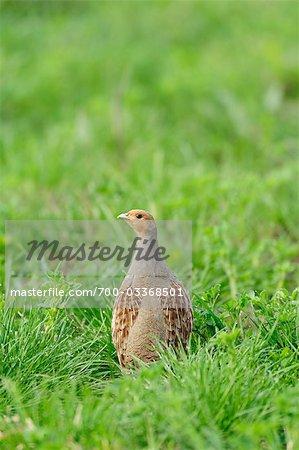 Grey Partridge in Grass
