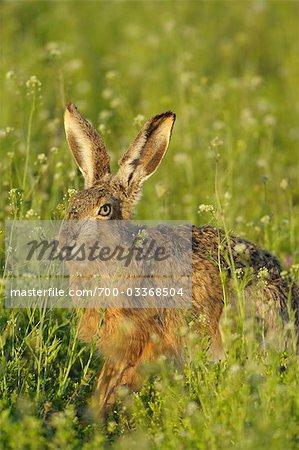 Hare in Field of Flowers