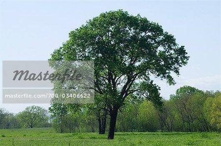 Cottonwood Tree in Spring, Dallas, Texas, USA