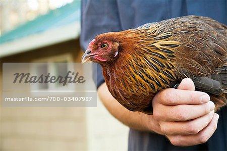 Man Holding Ameraucana Heritage Breed of Chicken