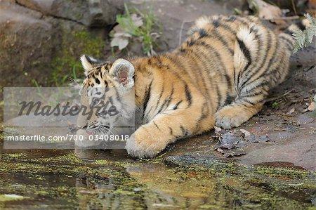 Siberian Tiger Cub Drinking Water, Nuremberg, Bavaria, Germany