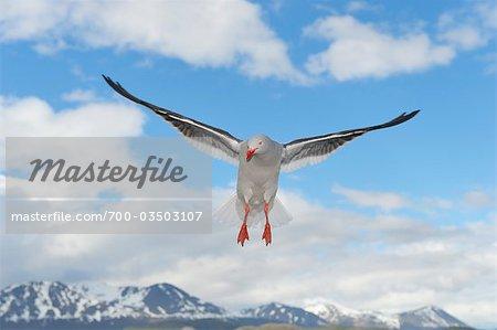 Dolphin Gull, Ushuaia, Tierra Del Fuego, Argentina, South America