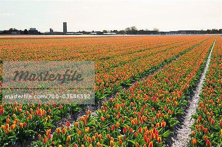 Tulip Field, Lisse, Netherlands