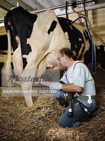 Farmer Milking Holstein Cow on Organic Dairy Farm, Ontario, Canada