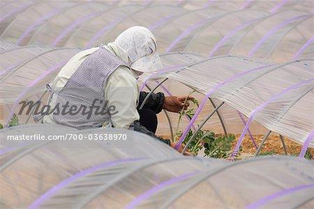 Woman Working in Field, Aichi Prefecture, Chubu Region, Honshu, Japan